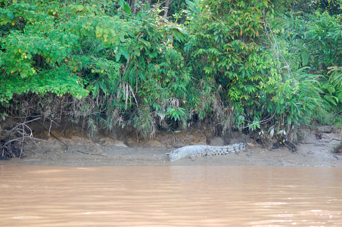 Mr. Crocodile on the river bank at 8:00 am