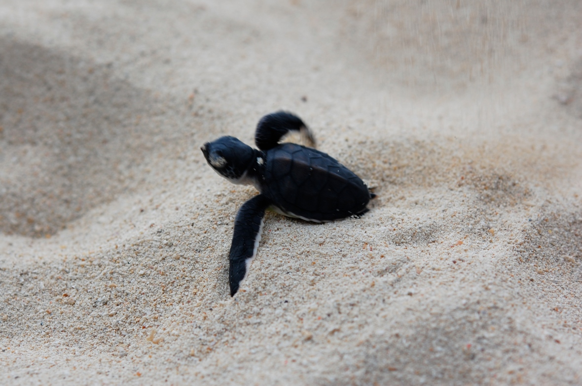turtle freeing itself to start its journey to the sea