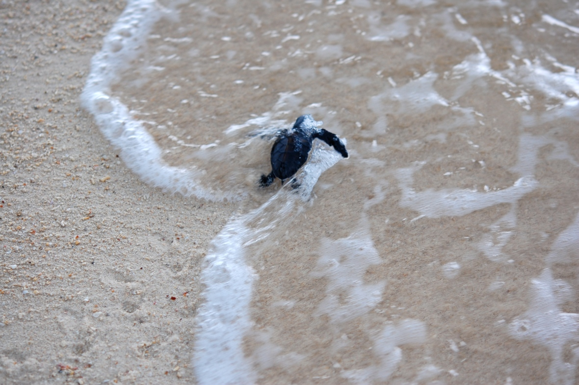 baby turtle's first moments at sea