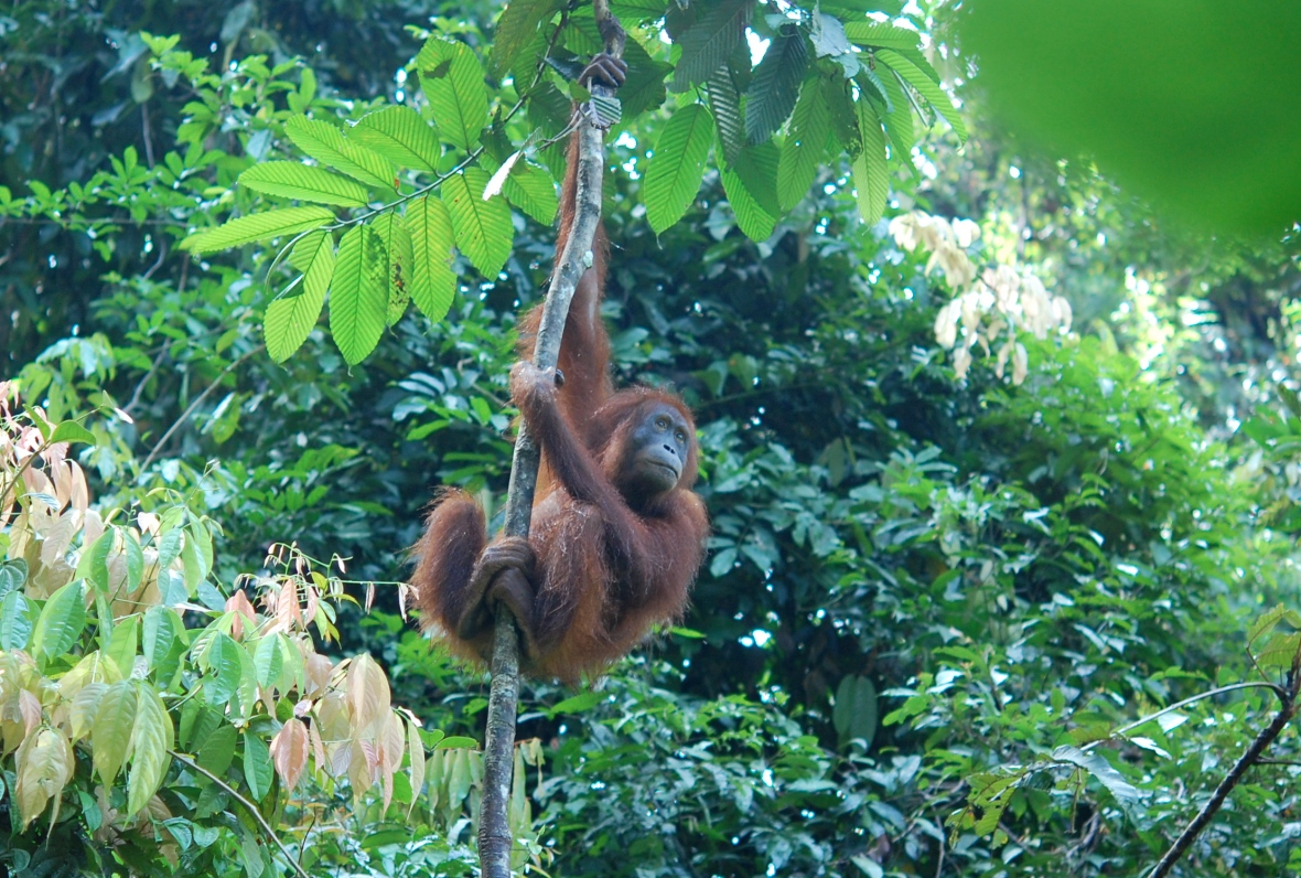 orangutan in the tree