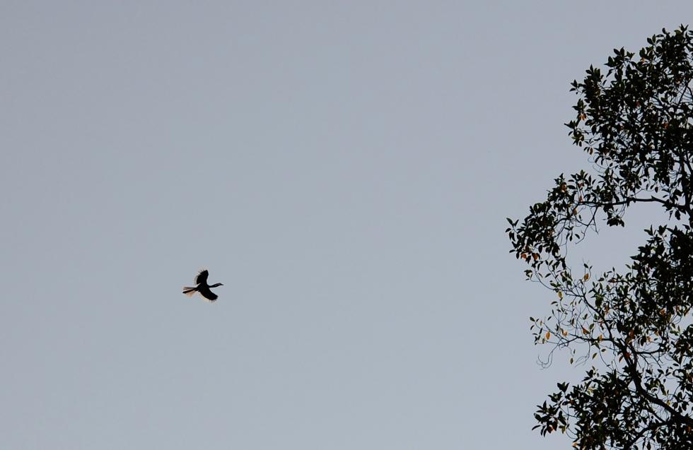 hornbill flying