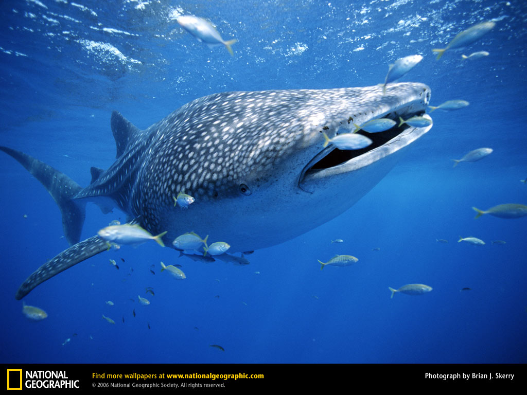A whale is a fish or a mammal. Species of whales. What the whales eat and how they breathe 65